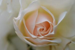 rose-66498_640