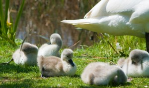 cygnets-and-swan